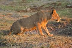 Ready for the day (kiwisteve1) Tags: africa travel dawn wildlife lion botswana awareness chobe