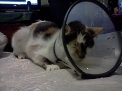 daisy (bananaromatv) Tags: cat cone head poor kitty calico pathetic pissed