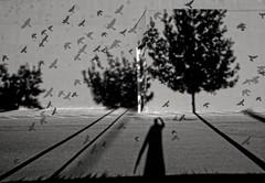 "the unanticipated portal (Robert Couse-Baker) Tags: trees bw flying long shadows flock nb dreaming dreams sacramento selfie sacramentovalley longshadows hss sliderssunday happysliderssunday ""flockofbirdsflyingoverwesselburen""bydirkingofranke2011cc30by"