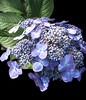 Autumn Hydrangea by My Lovely Wife (Puzzler4879) Tags: flowers longisland powershot f cutting pointandshoot hydrangea bayard canonpowershot stateparks flowercloseups bayardcuttingarboretum bayardcuttingarboretumstatepark canonaseries canonphotography a canonpointandshoot newyorkstateparks a580 canona580 canonpowershota580 powershota580 longislandstateparks