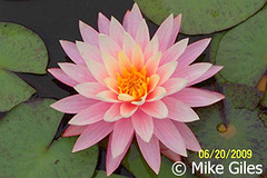Myra2a (Waterlelie.be) Tags: westvirginia myra verenigdestatenvanamerika noordamerika mikegiles nymphaeamyra