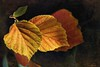 """Caught in the light (Diana Thorold.) Tags: autumn orange texture leaves yellow psp colourful ie tistheseason manipulate 2015 flamingpear dianathorold magicunicornverybest """"exoticimage"""""""