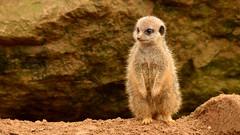 Meerkat (mistermalcontent) Tags: meerkat chesterzoo sigma150500mm nikond7000