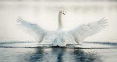 Lenka (Katarina Drezga) Tags: autumn sunset sunlight lake bird nature birds animals swan wings outdoor wildlife serbia birding swans vojvodina srem nikond3100 nikkor55300mm4556gvr