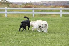 Stanley & Donnie (the_mel) Tags: dog dogs goldenretriever lab maryland wcc servicedog labradorretriever veterans therapydog warriorcanineconnection