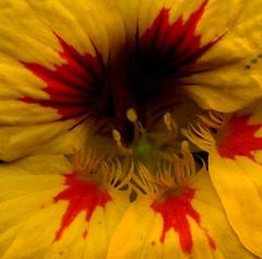 56959.20 flowers (horticultural art) Tags: flower macro closeup tropaeolum nasturtium tropaeolummajus horticulturalart