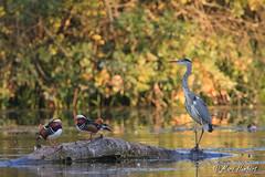 28092011-IMG_5545.jpg (marc1bert) Tags: oiseaux faune hroncendr canardmandarin oiseauxdeau ciconiiformeshronsaigrettesetc