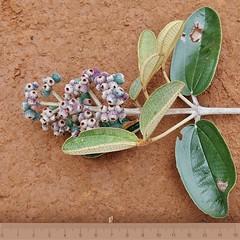 Miconia albicans (Mauricio Mercadante) Tags: estaçãoecológicadojardimbotânicodebrasília miconia miconiaalbicans melastomataceae cerrado branca white taxonomy:binomial=miconiaalbicans taxonomy:genus=miconia