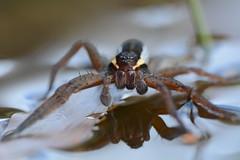 raft spider, Dolomedes fimbriatus (willjatkins) Tags: macro closeup spider spiders arachnid arachnids britishwildlife dolomedes raftspider sigma105mm ukwildlife britishspider britishspiders dolomedesfimbriatus closeupwildlife dorsetwildlife macrowildlife ukspider ukspiders ukarachnids ukarachnid nikond7100 purbeckwildlife britisharachnids dorsetspiders purbeckspiders dorsetspider britisharachnid