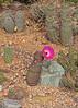 Echinocereus rigidissmus v. rubispinus (l.e.violett) Tags: cactus flowering cultivated echinocereus rigidissmus vrubispinus