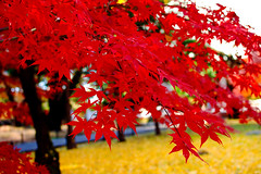 Autumn Leaves of Maple in Kuhonbutsu Joshinji Temple : 紅葉(九品仏浄真寺) (Dakiny) Tags: 2016 winter december japan tokyo setagaya nature landscape park street plant tree maple autumnleaves red nikon d7000 afsdxnikkor35mmf18g nikonafsdxnikkor35mmf18g nikonclubit