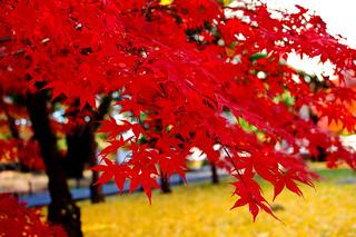 Autumn Leaves of Maple in Kuhonbutsu Joshinji Temple : 紅葉(九品仏浄真寺)
