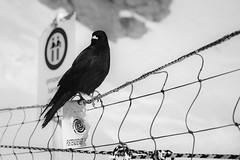 Gracchio alpino - guardiano per turisti spericolati! (MarcoAgustoniPhotography) Tags: jungfraujoch neve schnee snow winter aletsch gracchio alpino divieto infra