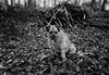 . . . carrying the weight of the world on his shoulders (orangecapri) Tags: orangecapri dog george georgetheborderterrier dogexpression dogsface portrait dogportrait bt terrier borderterrier woods trees bokeh blur face tiltandshift ldl bnw bw blackandwhite white black canine 2017 newyear littledoglaughednoiret