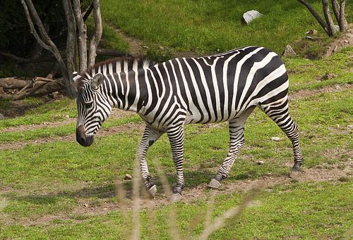 Indianapolis Zoo 08-08-2013 - Grants Zebra 8