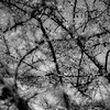 Tree Berries 003 (noahbw) Tags: d5000 dof nikon abstract autumn berries blackwhite blackandwhite blur branches bw depthoffield forest monochrome natural noahbw square trees woods