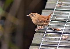 "Wren (penlea1954) Tags: nature reserve dumfries galloway scotland uk outdoor dumfriesshire wre smallest small troglodytes ""troglodytes troglodytes"" bird castle loch lochmaben"