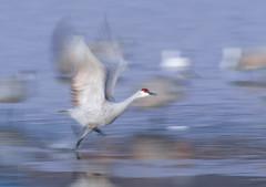 P9310697 Pre-dawn take-off (Tara Tanaka Digiscoped Photography) Tags: mirrorless gh4 nikon300mmf28ais sandhillcrane bosquedelapachenwr manualfocus dawn blur run flight takeoff water bird outdoor animal nature splash