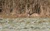 Sieste au soleil (Eric Penet) Tags: chevreuil cervidé chevrette france forêt hiver neige nature wildlife wild janvier roe roedeer femelle nord froid faune forest avesnois mammifère mammal