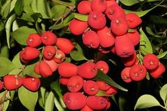 Syzygium luehmannii (andreas lambrianides) Tags: smallleavedlillypilly syzygiumluehmannii myrtaceae arffs redarffs cherrysatinash nswrfp qrfp subtropicalarf tropicalarf littoralarf lowlandarf uplandarf australianrainforests australianrainforestfruits australianrainforestfruitsandseeds