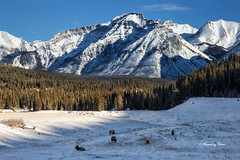 Grazing Elk (Canon Queen Rocks (1,230,000 + views)) Tags: mountains mountain mountainpeak snow snowcapped scenery scenic sky trees landscape landscapes elk wildlife wild winter nature nationalpark banffnationalpark alberta animals canada
