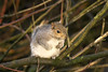 Pennington fluffy tailed Rat...Do you want to fight Me! (Philip A Price) Tags: explore sony a6300 500mm f45 with adapter