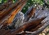 Screech Owl (BernieErnieJr) Tags: screechowl bird birdsofprey raptor teamsony greatphotographers colorado hawkquest rockymountains sonya6300 sony18105mmg