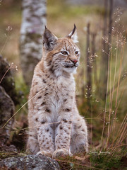 Enjoying her first Autumn (CecilieSonstebyPhotography) Tags: 4months 4monthsold canon canon5dmarkiii ef100400mmf4556lisiiusm eurasianlynx gaupe langedrag lynx markiii autumn birch cat catfamily closeup content eartufs fall grass høst nose portrait satisfied straws trees yeys specanimal specanimalphotooftheday