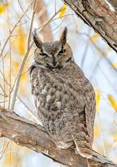 Great Horned Owl (Ed Sivon) Tags: american america canon nature lasvegas wildlife wild western southwest desert clarkcounty clark vegas flickr great bird birdofprey henderson nevada nevadadesert owl