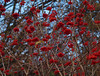 2016_11_0409 (petermit2) Tags: autumn berry berries pottericcarr potteric doncaster southyorkshire yorkshirewildlifetrust wildlifetrust ywt