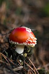 Fliegenpilz (Christoph642) Tags: natur outdoor pilz fliegenpilz wald