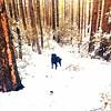 Addie in the Snow-Prescott, AZ-Dec 2016 (Service.dog.addie) Tags: prescottaz arizona prescott nature beautiful trees forest winterlandscape landscape winter cold snow bordercolliemix bordercollie mixedbreed mutt labmix blacklab lab labradorretriever retriever labrador servicedog blackdog dog