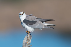 White-tailed Kite (X6C_1411-1) (Eric SF) Tags: whitetailedkite raptor coyotehillsregionalpark fremont california wow