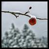 Pomme sous la neige (Marie Dupraz) Tags: neige snow pomme apple nature canon