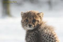 Cheetah cub - Gepardenbaby (Noodles Photo) Tags: carnivora cheetahcubs acinonyxjubatus gepard raubtier raubkatze canoneos1dmarkiii ef100400mmf4556lisusm cat cub burgerszoo niederlande netherlands animaladdiction