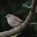 Dunnock-6183 (WendyCoops224) Tags: 100400mml 70d canon eos localbirdswildlifewinterwatch ©wendycooper dunnock