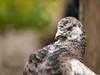 Taube, pigeon (Klaus Lechten) Tags: taube pigeon pfauenschwänzchen vögel tiere animal bird birds bokeh e3 zukio50200 lechten pigeons light green tauben
