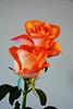 DSC_4267 (PeaTJay) Tags: nikond750 reading lowerearley berkshire macro micro closeups gardens indoors nature flora fauna plants flowers rose roses rosebuds