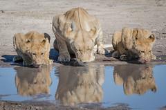 Löwen / Lions (brainstorm1984) Tags: cub marshpride löwen savutesafarilodge savutegamereserve junges cubs lion pantheraleo wildlife löwin savute savutichannel safari savuti savutigamereserve chobenationalpark desertdeltasafaris marshrudel botswana junglöwe junge big5 savutimarsh wildfelinephotography junglöwen lions jungtiere jungtier löwe lioness bigfive northwestdistrict botsuana bw