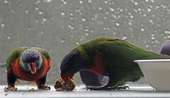 Carnivorous Rainbow Lorikeets (iansand) Tags: lanecove rainbowlorikeet lorikeet carnivore carnivorous