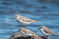 Terek Sandpiper DSC_9707 (BlueberryAsh) Tags: wtp birds westerntreatmentplant tereksandpiper sandpiper shorebird beach wader australianbird tamron150600 nikond750