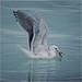 pretty gull has her herring