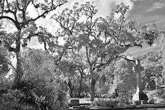 Bonaventure Trio  IR B&W (Neal3K) Tags: savannah georgia graves ghosts garden infrared bw blackandwhite 590nmfilter monochhrome spanishmoss bonaventure cemetery