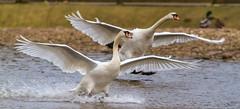 Mute Swans (warren hanratty) Tags: wildbird warrenhanrattyphotography muteswan wildlife cygnusolor bird