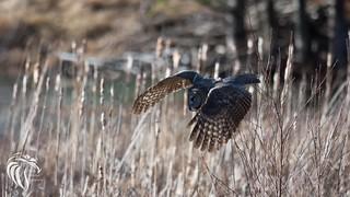 Great Grey Owl of the Adirondacks | 2017 - 3