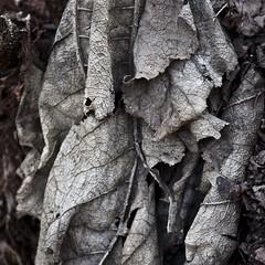 Rideau gris (Gerard Hermand) Tags: 1703147056 gerardhermand france paris canon eos5dmarkii formatcarré bagatelle parc park feuille leaf mort dead gris grey sol ground hiver winter