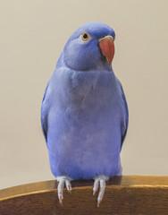 My Selfie 😁 (S♡C) Tags: indianringneckparrot bird parrot selfie pet indoor