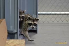 August 17, 2015 - Raccoons check out the urban setting of north Denver. (Ed Dalton)