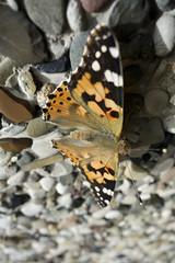 Schmetterling auf einer Steinmauer (maltehempel_de) Tags: sommer wand grau steine falter stein bunt mauer schmetterling kopf fhler