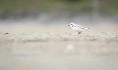 Piping Plover Chick (hfpicc) Tags: bird nature wildlife plover pipingplover audubon shorebird charadriusmelodus pipingploverchick protectedbird audubonsocietyofri canon7dmarkii heidipiccerelliphotography wildlifeinri
